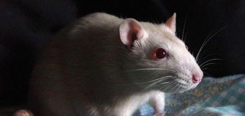 você viu coco de rato?