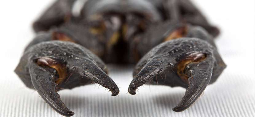 6 duvidas sobre escorpiões