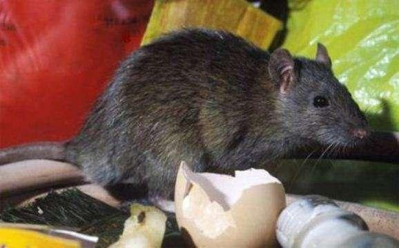 5 doenças mortais que os ratos transmitem